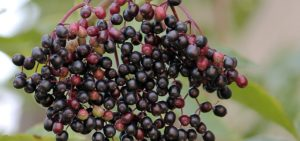 Best Organic Elderberry Syrup