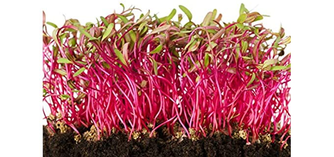 Raw Earth Colors Bulls Blood - Organic Beets Sprouting Seeds