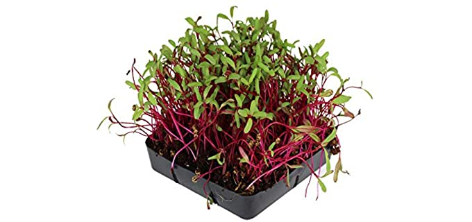 Mountain Valley Seed Company Detroit Dark - Organic Heirloom Beets Sprouting Seeds