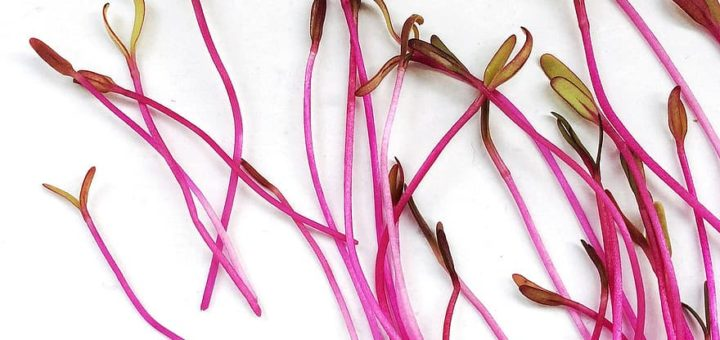 Organic Beetroot Sprouting Seeds