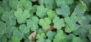 Organic Clover Sprouting Seeds