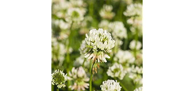 Mountain Valley Seed White Dutch - Clover Seeds